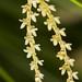 Dendrochilum tenellum – Nico Goosens