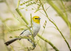 Verdin (Amy Hudechek Photography) Tags: winter bird lasvegas nevada verdin happyphotographer hendersonbirdpreserve amyhudechek