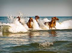 Ponies (StateMaryland) Tags: ocean horse berlin animal landscape surf waves play mark wave atlantic huey eastern