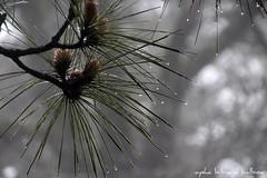 Diversidad (Aysha Bibiana Balboa) Tags: agua arboles desierto atardeceres pinos dunas pinoscanarios ayshabibianabalboa balboafloresvioletasmacrodesenfoque