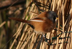 Bearded Tit (jpotto) Tags: birds tits beardedtit pensthorpe