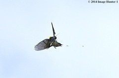 Yellow-rumped Warbler Catching An Inflight Lunch - Bayou Courtableau, Louisiana (Image Hunter 1) Tags: bird nature flying wings louisiana feeding cloudy eating wildlife flight insects bugs bayou swamp catching precision marsh wingspan yellowrumpedwarbler wingspread canoneos7d bayoucourtableau