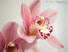 Orchid... (lollipoplollipop@home) Tags: