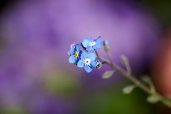 わすれなぐさ (勿忘草)/Myosotis scorpioides (nobuflickr) Tags: flower nature japan kyoto forgetmenot myosotisscorpioides 勿忘草 thekyotobotanicalgarden waterforgetmenot わすれなぐさ awesomeblossoms ムラサキ科ワスレナグサ属 20140226dsc01569 20140226dsc01548