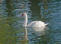 lagoon swan (pbo31) Tags: sanfrancisco california winter color reflection green nature northerncalifornia march swan nikon earth lagoon grace bayarea palaceoffinearts marinadistrict 2014 d700