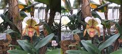 3D Lewis Ginter Botanical Gardens (Gamma Man) Tags: rva richmond va virginia richmondva richmondvirginia henrico henricova henricovirginia garden lewisginter lewisginterbotanicalgarden conservatory plant flower 3d 3dphotos 3dphoto 3dphotography elichristman elijahchristman ejc elijahjameschristman elichristmanphotography elijahchristmanphotograph elichristmanrva elichristmanrichmondvirginia elichristmanvirginia photography stereoscope stereoscopic photographyw3fujifilmfinepixreal 3dfinepix 3dfujifilm finepix real w3finepix w3fujifilm w3 orchid slipperorchid elijameschristman elijahchristmanrva elichristmanrichmondva elijahchristmanrichmondva elijahchristmanrichmondvirginia