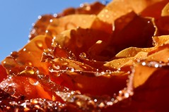 .... (Eggii) Tags: orange macro water rose droplets bokeh foryou nikkor50mm18 nikond90 raynoxdcr250macro eggii