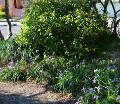 Venegasia carpesioides - Canyon Sunflower and Iris douglasiana - Douglas Iris under a silktassle and Ray Hartman Ceanothus. (pete@eastbaywilds.com) Tags: hillside