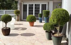 Neea buxifolia topiaries (Jardin Boricua) Tags: tree garden topiary puertorico landscaping jardin pot bonsai shrub jardn neea topiario potplanting neeabuxifolia