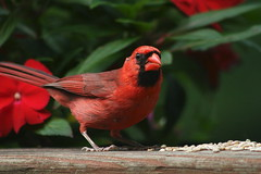 Northern Cardinal (raptorben1) Tags: life lighting wood flowers red wild plants usa brown plant black color bird nature birds closeup wow neck spectacular outside outdoors photography living us photo bill amazing cool wings focus colorful crossing adult legs bright cardinal background wildlife tail north birding picture seed posing pic seeds belly va perched curious northern focused blackeye feral redflowers naturephotography plumage northerncardinal palelegs 2015 birdphotography blackmask adultmale wildlifephotography redbill redbody wildlifephotography2015 allofbodyisred completelyred raptorben1