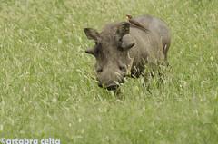 Pumba and friend (artabracelta) Tags: animal naturaleza nature africa southafrica sudafrica summer verano viaje travel safari facoquero phacochoerus pumba satara skukuza teleobjetivo nikon d5100 70300 tamron photo fotografia