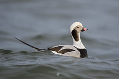 This is My Good Side (santosh_shanmuga) Tags: long tail longtail longtailed tailed duck waterfowl drake bird seaduck birding aves wild wildlife nature animal outdoor outdoors ocean inlet water nikon d4 500mm nj new jersey barnegat light barnegatinlet newjersey