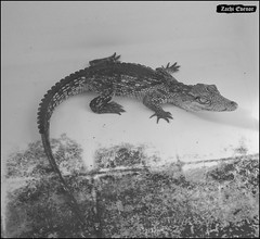Crocoloco-IZE-297 (Zachi Evenor) Tags: zachievenor israel crocoloco crocolocofarm crocodilefarm crocodiliansfarm crocodile nilecrocodile crocodylusniloticus crocodylus niloticus crocodilia crocodilians haarava riftvalley צחיאבנור ישראל קרוקולוקו חוותקרוקולוקו חוותתנינים חוותתנינאים תניןהיאור תנין היאור תנינים קרוקודיל קרוקודילים תנינאים הערבה 2017 hatzeva 20170221