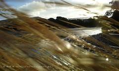366. GRASS 1: Blowing In The Wind (www.YouTube.com/PhotographyPassions) Tags: water sea ocean landscape mlpphlandscape grass gold golden marine seashore coastal bush grassy seaside evening dusk sunset estuary slihouettes slihouette clouds cloudy goldengrass dunegrass beachgrass coastalgrass estuarine coastalvegetation mlpphflora bokeh