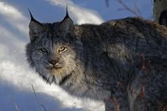 Here Kitty. (Cameron Eckert) Tags: lynx cat wilderness wild yukon yukonterritory biodiversity ecosystem ecological ecology wildlife winter