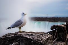 Niagara Gull (~Arles) Tags: niagarafalls seagull bird waterfall outdoor