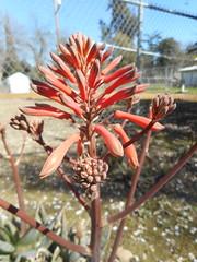 Aloe sp. Asphodelaceae Asphodeloideae-aloe a4