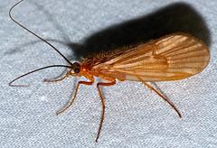 Caddisfly (Halesus sp.) (berniedup) Tags: caddisfly halesus taxonomy:genus=halesus insect trichoptera ustou