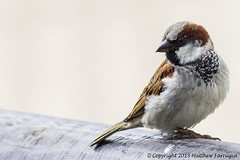 House Sparrow (Male) (Passer Domesticus) (CentricMalteser) Tags: house bird birds animal animals ferry canon eos rebel kiss matthew wildlife may meadows sparrow carrion housesparrow passerdomesticus peterborough cambridgeshire eosrebel domesticus passer t3i x5 rivernene ferrymeadows nenepark 600d farrugia wildlifeanimals 2013 wildlifeanimal carioncrow canon600d may2013 rebelt3i kissx5 eost3i eosrebelt3i eoskissx5 eosx5 matthewfarrugia centricmalteser