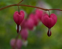 Treurend hartje (nikjanssen) Tags: flowers dof ngc bloemen bleadinghearts treurendhartje flowerthequietbeauty