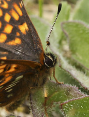 Duke of Burgundy (Head Close-up) (Prank F) Tags: macro nature closeup butterfly insect wildlife dunstable wildlifetrust dukeofburgundy totternhoequarry bedsuk