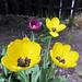 Spring Tulips 1