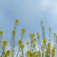 Today's sky (_kaochan) Tags: flowers sky 6x6 square panasonic squareformat sora eyefi dmcfz200 panasonicdmcfz200 lumixdmcfz200