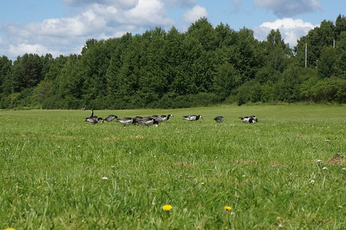 """Barnacle Goose • <a style=""""font-size:0.8em;"""" href=""""http://www.flickr.com/photos/43628998@N05/9175409154/"""" target=""""_blank"""">View on Flickr</a>"""