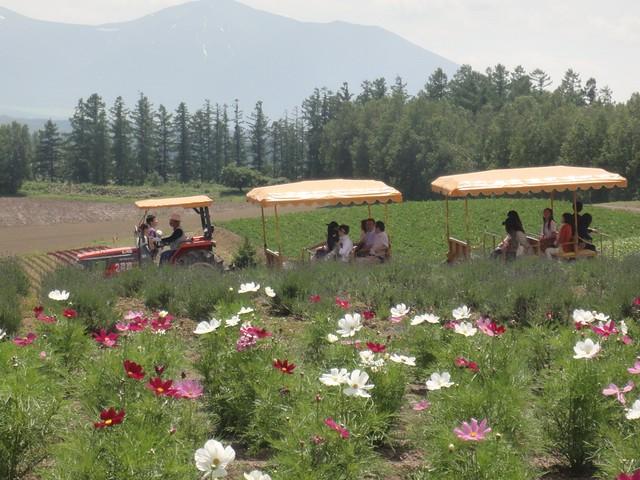 北海道美瑛の四季彩の丘で展望花畑とアルパカに会う|展望花畑 四季彩の丘