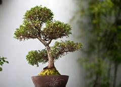 "Sun Yat Sen Gardens - Bonsai 3 • <a style=""font-size:0.8em;"" href=""http://www.flickr.com/photos/30765416@N06/9233901446/"" target=""_blank"">View on Flickr</a>"