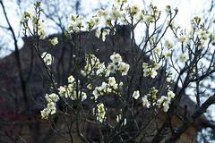 001hw_L1NK2370Lr Plum blossoms (nak.viognier) Tags: osaka plumblossoms  apricotblossoms umeblossoms baika