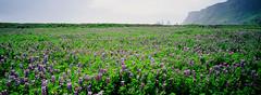 * (doistrakh) Tags: travel flowers panorama film 35mm landscape iceland europe kodak rangefinder vik fujifilm nordic 135 ísland rf colorslide lupinus cinefilm colorreversalfilm nordiccountry tx1 100d superebc 45mmf4 ektachrome100d superebcfujinon cineflim