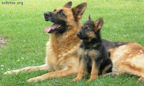 Filhote de cachorro pastor alemão