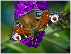 Peacock Butterfly (brianac37) Tags: flowers england flower butterfly buddleia peacock dudley netherton