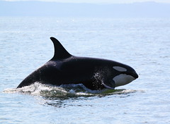 Superpod (Remedy_Kiua) Tags: sea canada nature vancouver georgia boat wildlife watching killer dolphins whale orca adventures killerwhale strait steveston salish seabreeze