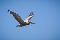 Brown Pelican (Pelecanus occidentalis) (Photo Patty) Tags: brownpelican pelecanusoccidentalis salinasrivernwr