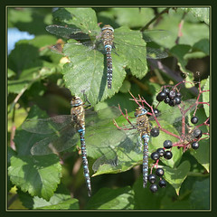 Migrant Hawker Triple (Full Moon Images) Tags: nature insect dragonfly wildlife lakes reserve fen cambridgeshire hawker drayton migrant rspb