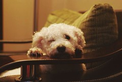 My dog is awesome and talented. (Maria Alexandra Ticu) Tags: dog night fun funny room awesome bichon talented