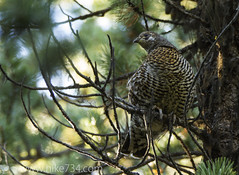 """Spruce Grouse • <a style=""""font-size:0.8em;"""" href=""""http://www.flickr.com/photos/63501323@N07/10425891665/"""" target=""""_blank"""">View on Flickr</a>"""