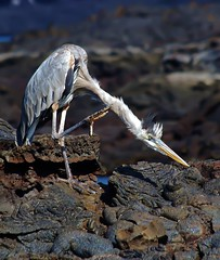 I think I have an Itch Somewhere (Susan Roehl) Tags: galapagos2013 april bartholomewisland galapagos ecuador greatblueheron extralongneck itch specanimal