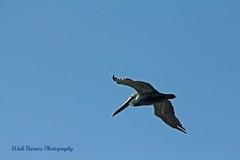 Brown Pelican (Walt Barnes) Tags: bird nature canon eos scenery wildlife flight pelican richmond calif brownpelican bif birdinflight 60d millerknox canoneos60d eos60d ebparksok wdbones99