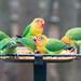 Six of Fischer's Lovebird on feeder at Oakland Zoo
