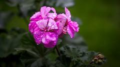Geranie (drefsmichael) Tags: pink flower water drops wasser waterdrops blume regen wassertropfen geranie