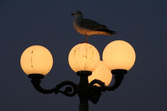 Gull (brightasafig) Tags: bird brighton poetry poem gull brightonpier palacepier