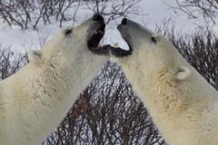 Symmetrical Polar Bears (scottyboylamont) Tags: polarbear ursusmaritimus churchillmanitoba canadanovember2013