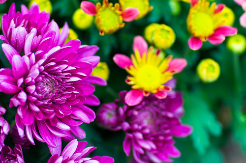 Chrysanthemum multi-colours