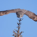 Great Gray Owl...#18