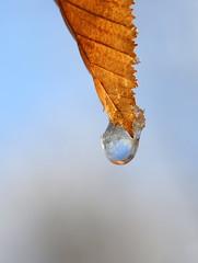 rime (jenny downing) Tags: winter ice golden frozen leaf frost glow hoarfrost bluesky drop freeze refraction droplet melt veins rime thaw wintery wintry serrated serrations jennypics jennydowning photobyjennydowning jennydowning2013