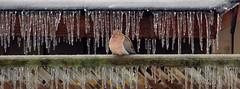 Winter Sleep for a Dove (praja38) Tags: life morning pink wild snow ontario canada storm bird ice nature rain fence eyes nap vishnu sleep dove wildlife beak feathers feather freezing canadian freeze snooze rest resting mourningdove capricorn bowmanville turtledove