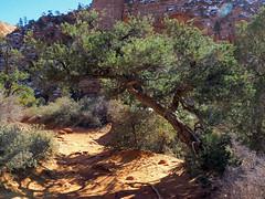 Zion National Park (nimus) Tags: nationalpark sandstone hiking zionnationalpark redrock shrub hikingtrail canyonoverlooktrail